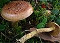 Cortinarius mussivus 39741.jpg