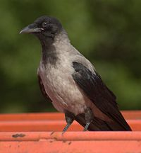 Corvus corone ssp cornix aka Hooded Crow in Sweden july 2006