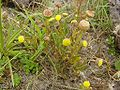 Cotula coronopifolia 2.jpg