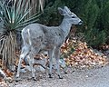 Coues deer (23860934590).jpg
