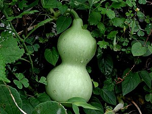 Green calabash on the vine