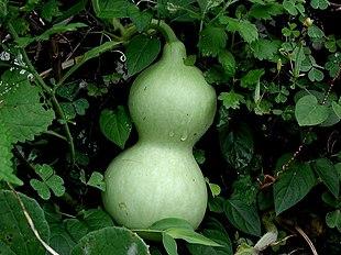 Green calabash on the vine