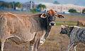 Cow field (8307567193).jpg