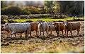 Cows (189630475).jpeg