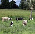 Cows at Great Waltham village, Essex, England 03.JPG