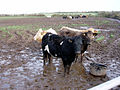 Cows near Halsetown - geograph.org.uk - 107851.jpg