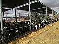 Cowshed in Kibbutz Elifaz.JPG