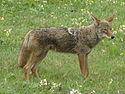 ZONAS CLIMATICAS EN MÉXICO 125px-Coyote2008