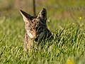 Coyote Hunting a Rodent (39506007324).jpg