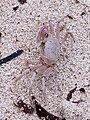 Crab (near Mombasa, Kenya).JPG