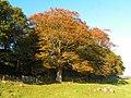 Craigherron Beech - geograph.org.uk - 1289100.jpg