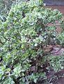 Crassula arborescens subsp undulatifolia 2.jpg