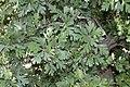 Crataegus pontica (Rosaceae) (33135112286).jpg