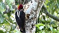 Crimson-crested Woodpecker. Campephilus melanoleucos (41033877771).jpg
