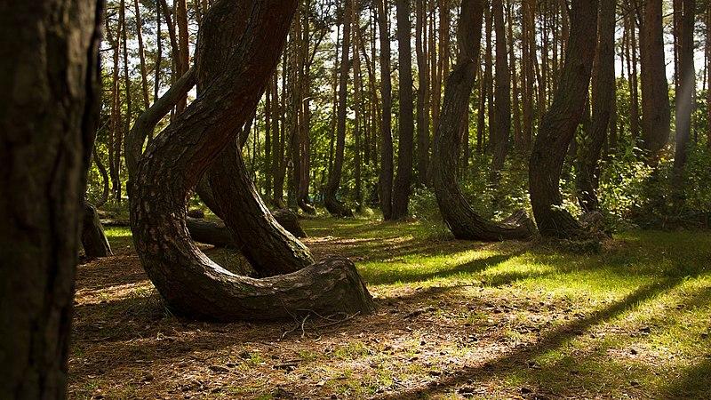 Hutan Bengkok Polandia