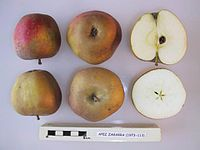 Cross section of Apez Zagarra, National Fruit Collection (acc. 1973-113).jpg