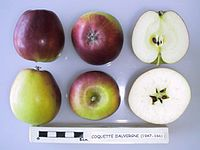 Cross section of Coquette d'Auvergne, National Fruit Collection (acc. 1947-166).jpg
