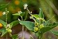 Croton fruticulosus - Flickr - aspidoscelis.jpg