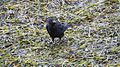 Crow with crab. (9818477105).jpg