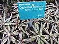 Cryptanthus praetextus (jardin des serres d'Auteuil à Paris, France).jpg
