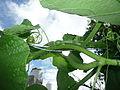 "Cucurbita argyrosperma ""calabaza rayada o cordobesa"" (Florensa) yema floral femenina F04 cáliz sépalos inserción ovario en pedúnculo tallo anguloso glabro con bandas (atravesada una guía de Cucurbita maxima).JPG"