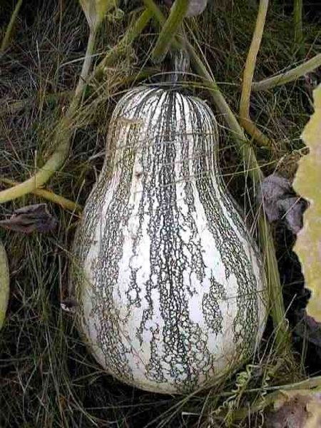 File:Cucurbita argyrosperma 2.jpg