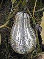 Cucurbita argyrosperma 2.jpg