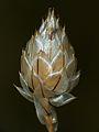 Cupid's Dart Bud (Catananche caerulea) (9734892131).jpg