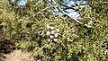 Cupressus revealiana 2.jpg