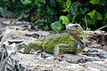 Curacao Iguana iguana 2021 1.jpg