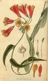 Curtis's Botanical Magazine, Plate 3050 (Volume 58, 1831).png