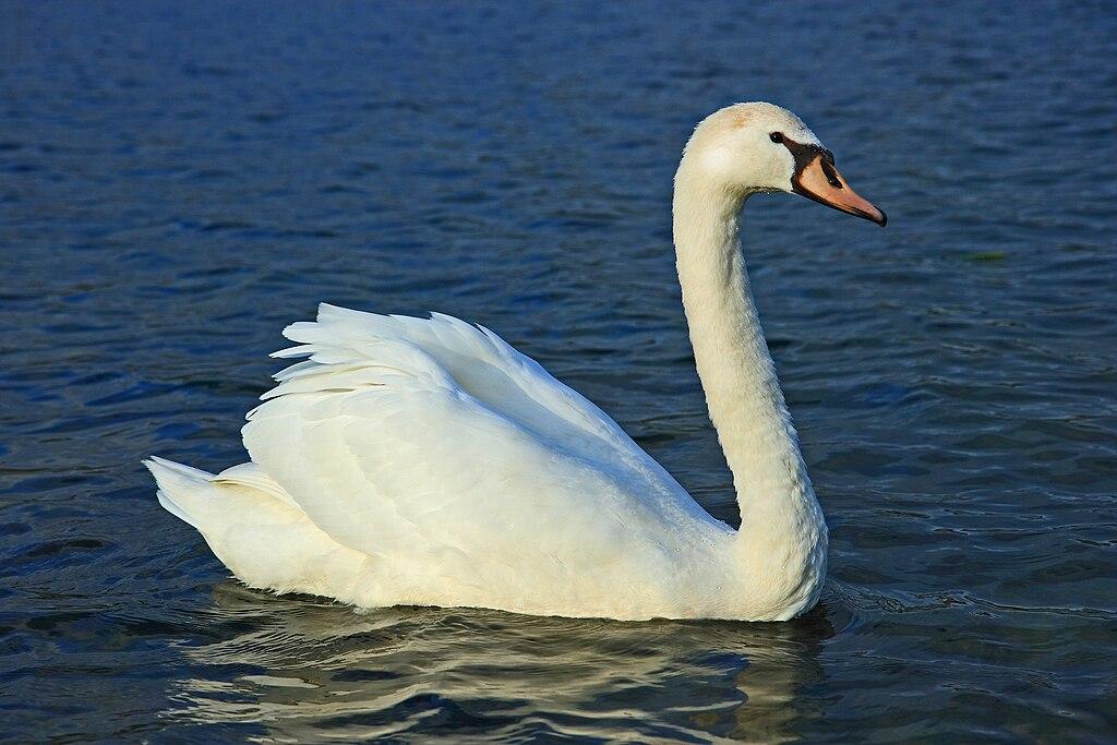 Labuť hrbozobá (veľká) (lat. Cygnus olor)