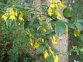 Cytisus villosus.JPG