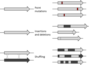 Directed evolution - Starting gene (left) and library of variants (right). Point mutations change single nucleotides. Insertions and deletions add or remove sections of DNA. Shuffling recombines segments of two (or more) similar genes.