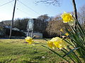 Daffodils along Niton Undercliff Drive.JPG