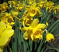 Daffodils at Osgoode Hall (26684251025).jpg