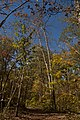 Darby Creek-Mixed Fall Forest Trees Competing for Light 1.jpg