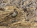 Dark-throated Thrush (Turdus ruficollis) (34249988116).jpg