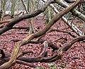 Deadwood, Lodge Plantation - geograph.org.uk - 1728145.jpg