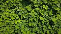 Der Frauenmantel, lat. Alchemilla, Alchemilla vulgaris 02.jpg