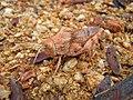 Desert Grasshopper - Flickr - GregTheBusker.jpg
