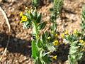 Desert fiddleneck (Amsinckia tessellata); Pine City Trail - 12525731705.jpg