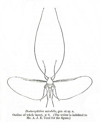 Deuterophlebia mirabilis