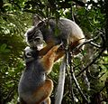 Diademed Sifakas, Madagascar (21121084431).jpg