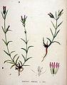 Dianthus armeria — Flora Batava — Volume v20.jpg