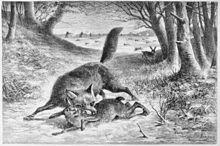 gravure ancienne montrant un renard avec un lapin dans la gueule et des chasseurs au loin