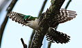 Diederik cuckoo, Chrysococcyx caprius (male), at Rietvlei Nature Reserve, Gauteng, South Africa (23007069673).jpg
