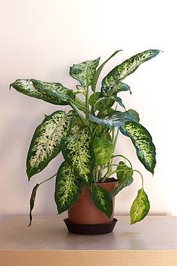 Dieffenbachia cultivar