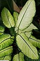 Dieffenbachia maculata Rudolph Roehrs 1zz.jpg