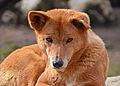 Dingo, Abrets.jpg